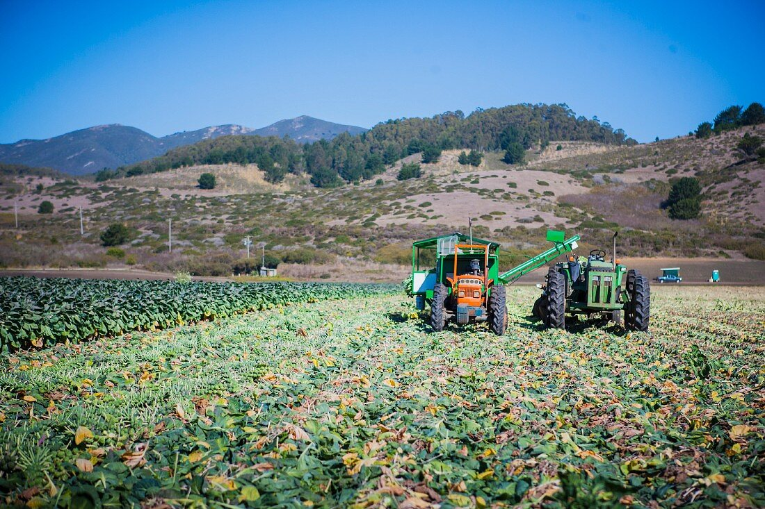 Brussels sprouts being harvested with machines