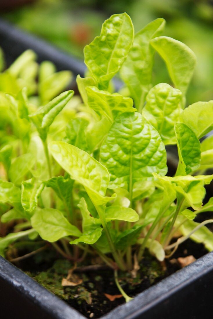 Young lettuces in a seedling tray
