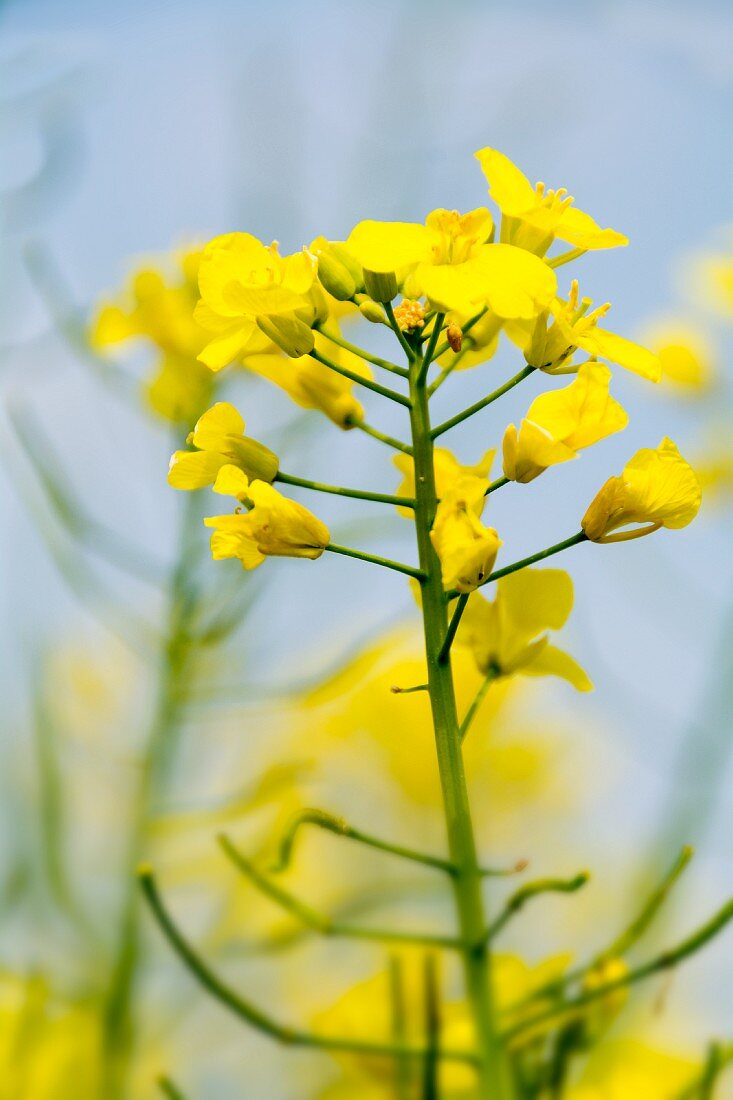 Rapeseed flowers (close-up)