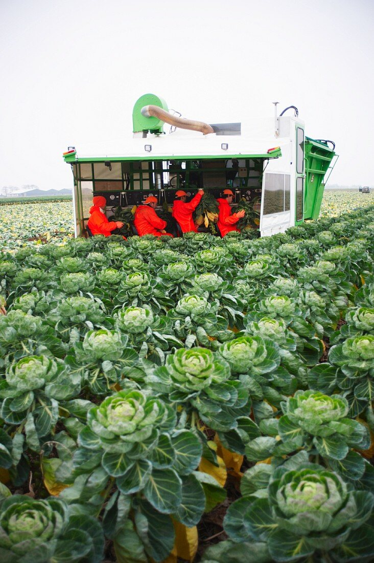 Brussels sprouts in a field being harvested with a machine