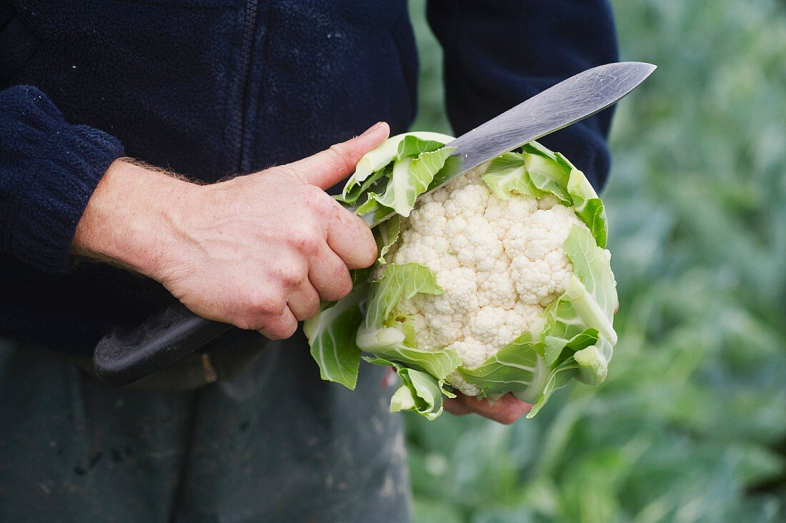 A farmer in a field checking the quality of cauliflowers