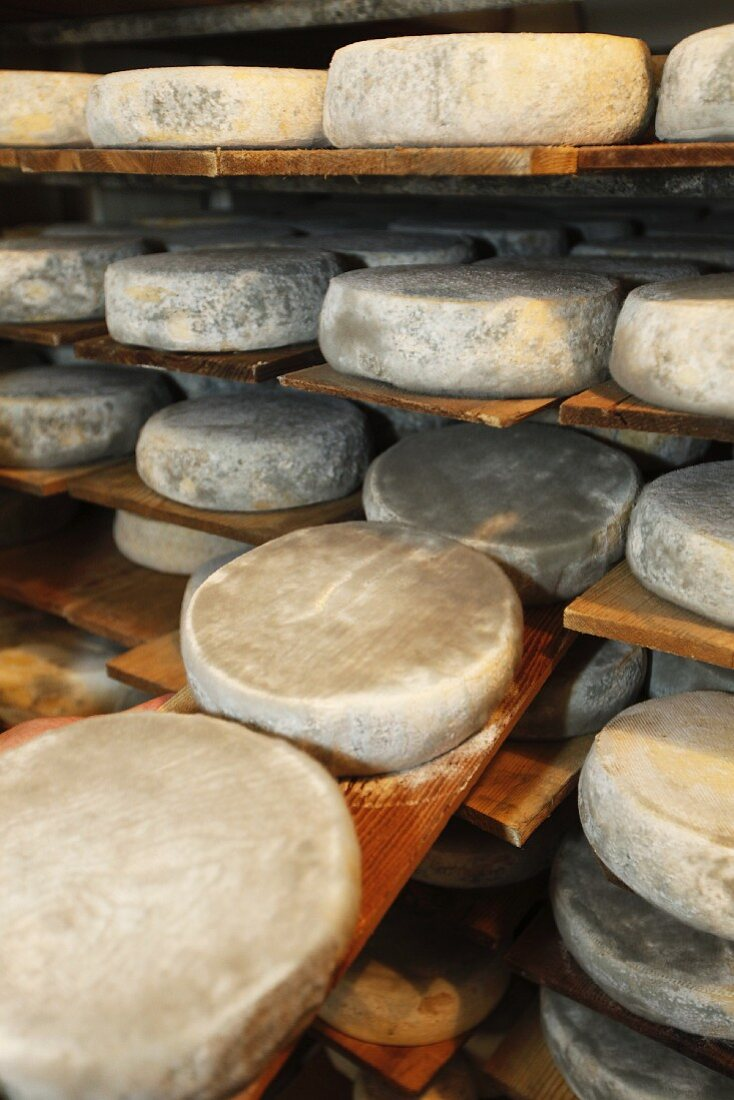 Wheels of cheese on a shelf in a dairy