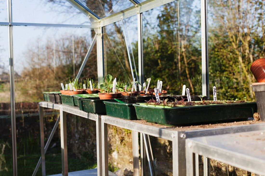 Vegetable plants in germination dishes in a green house