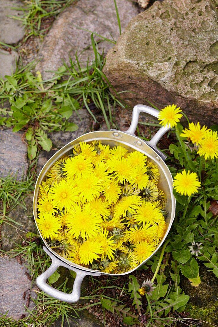 Freshly picked dandelions in a pot outside