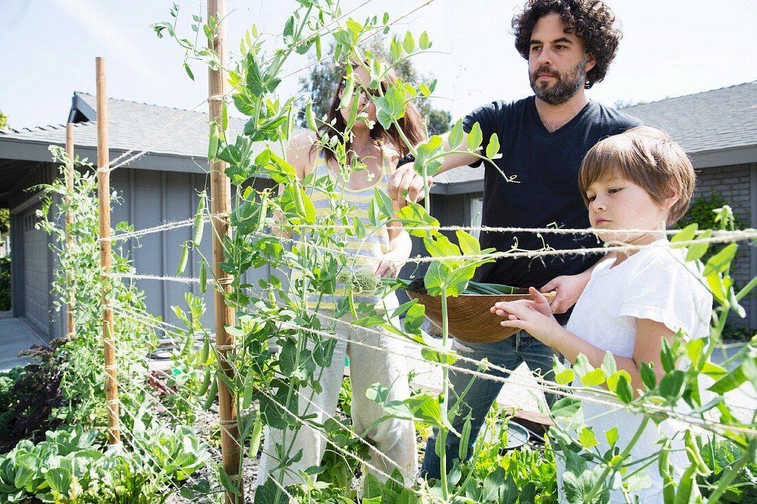 A family in a garden picking peas