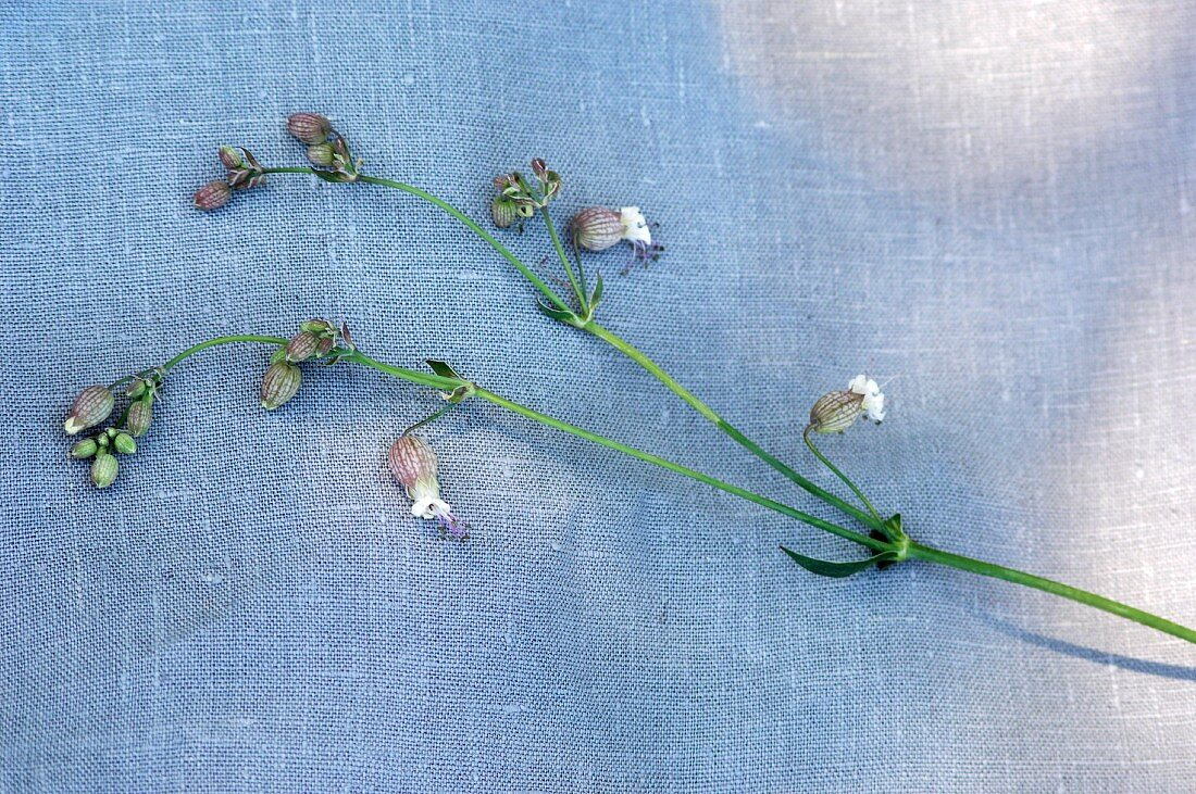 Fresh bladder campion on a fabric surface