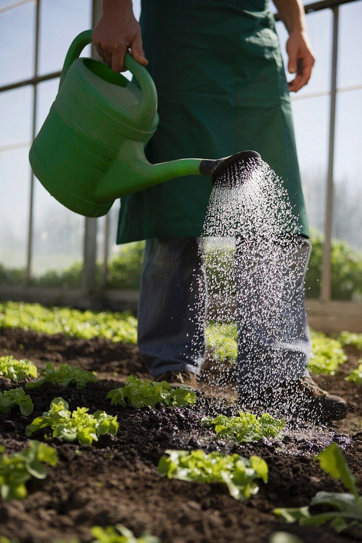 A man watering lettuce with a watering can in a greenhouse