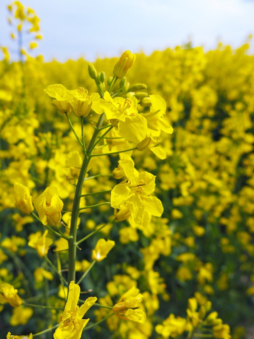 A field of rapeseed flowers