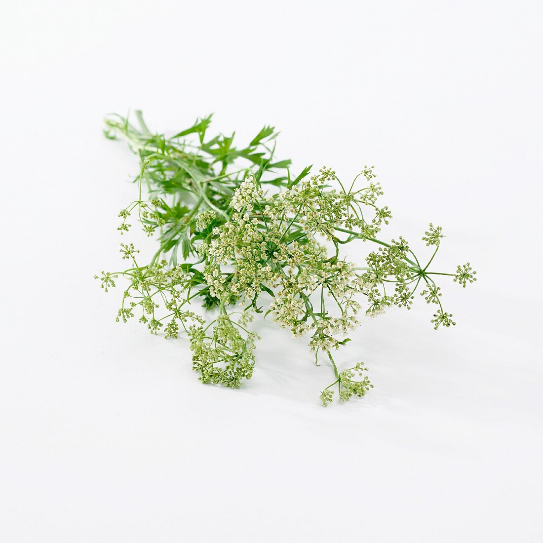 Anis with flowers (Pimpinella Anisum)