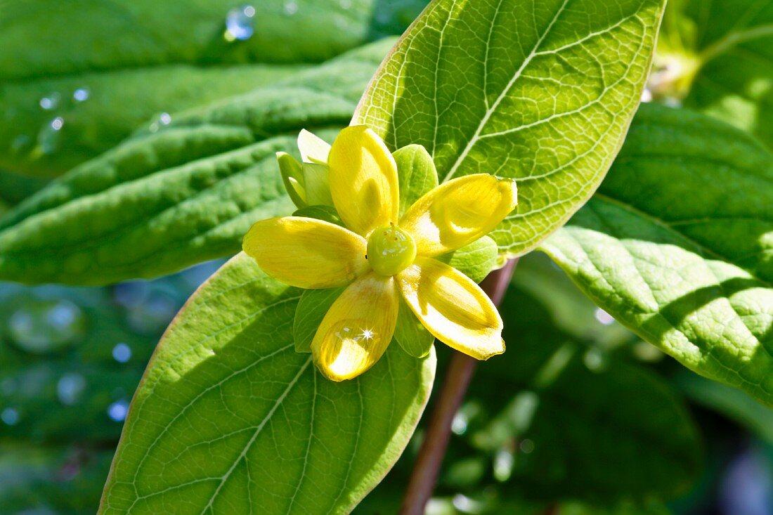 Flowering tutsan (Hypericum Androsaemum)