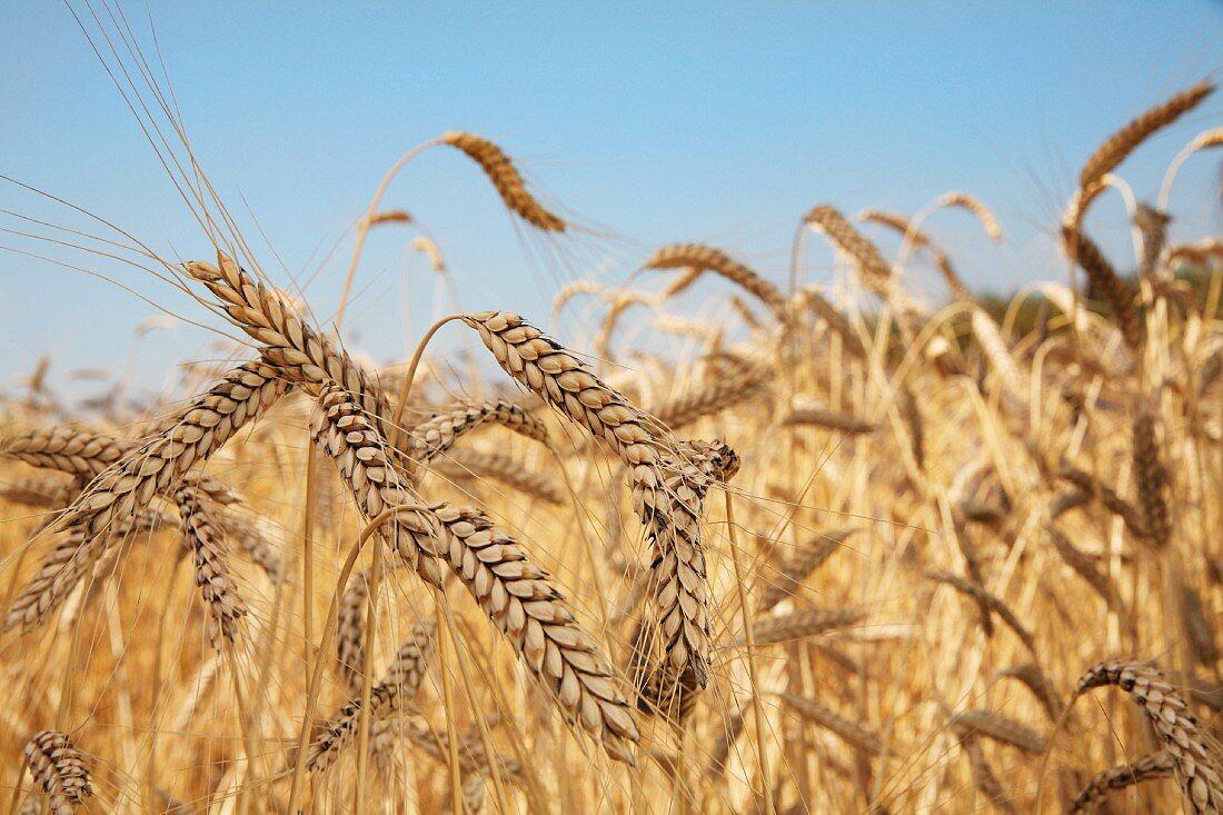 Light emmer wheat (ears in a field)
