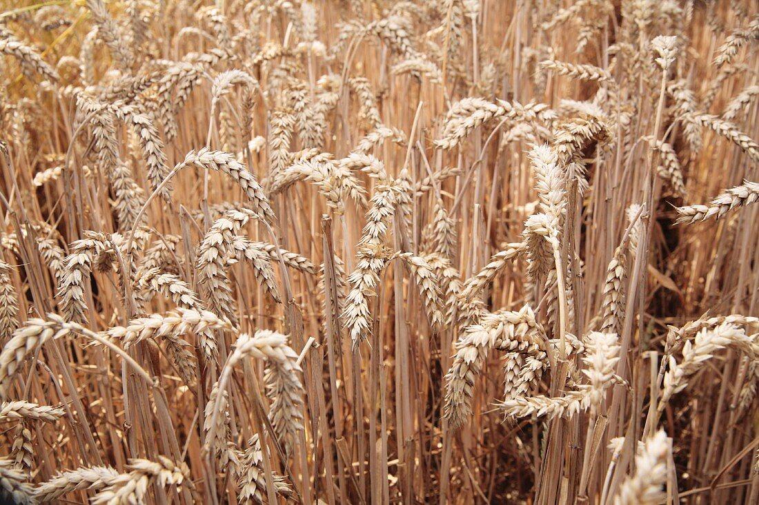 Ears of wheat in a field
