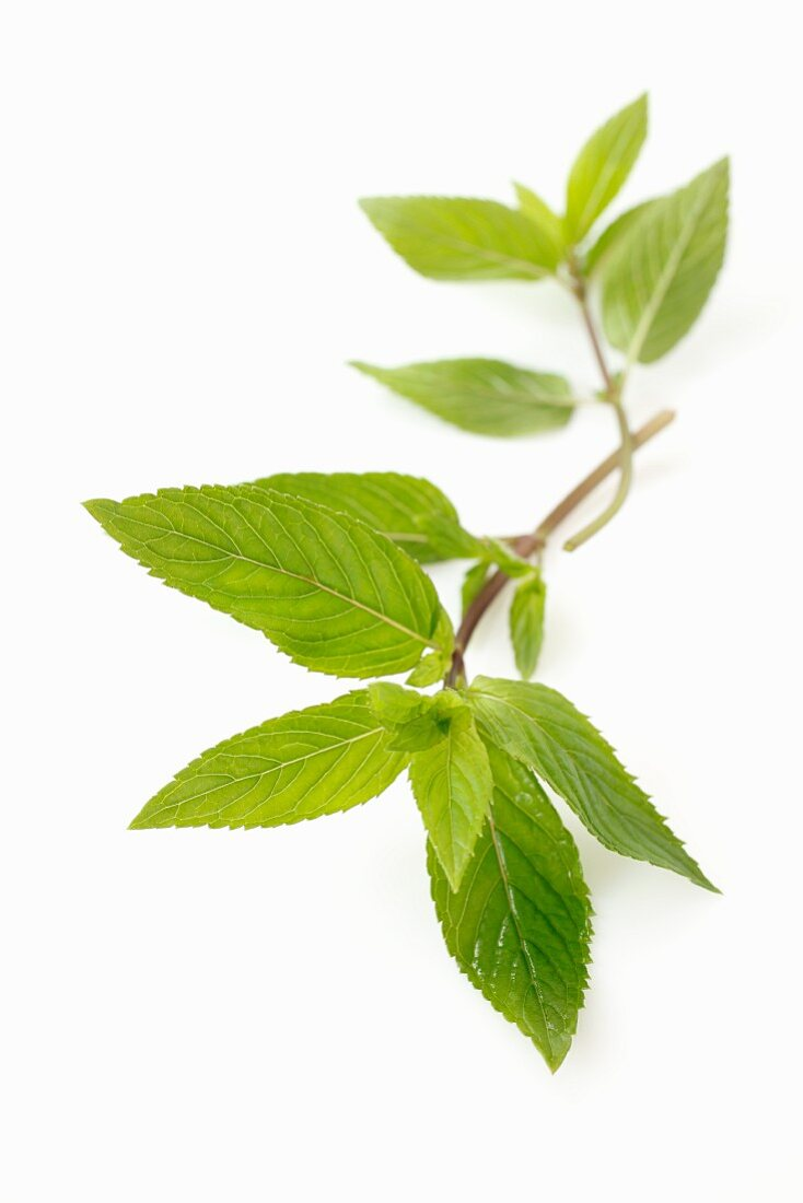 A sprig of chocolate mint