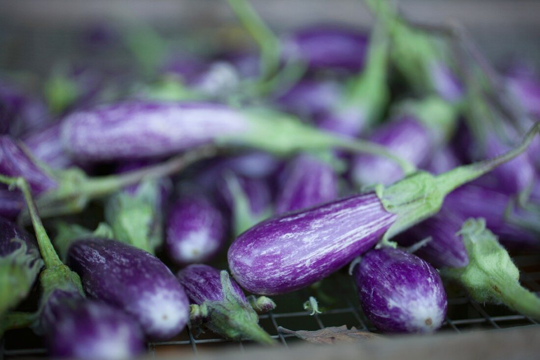 Fresh Eggplant from The French Laundry Garden in San Francisco California