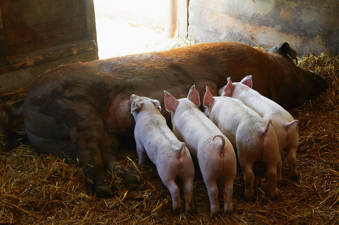 Piglets Nursing on a Farm