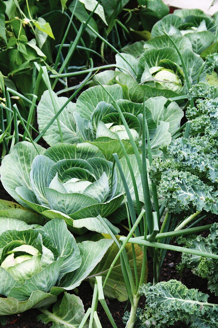 Cabbages in a vegetable patch