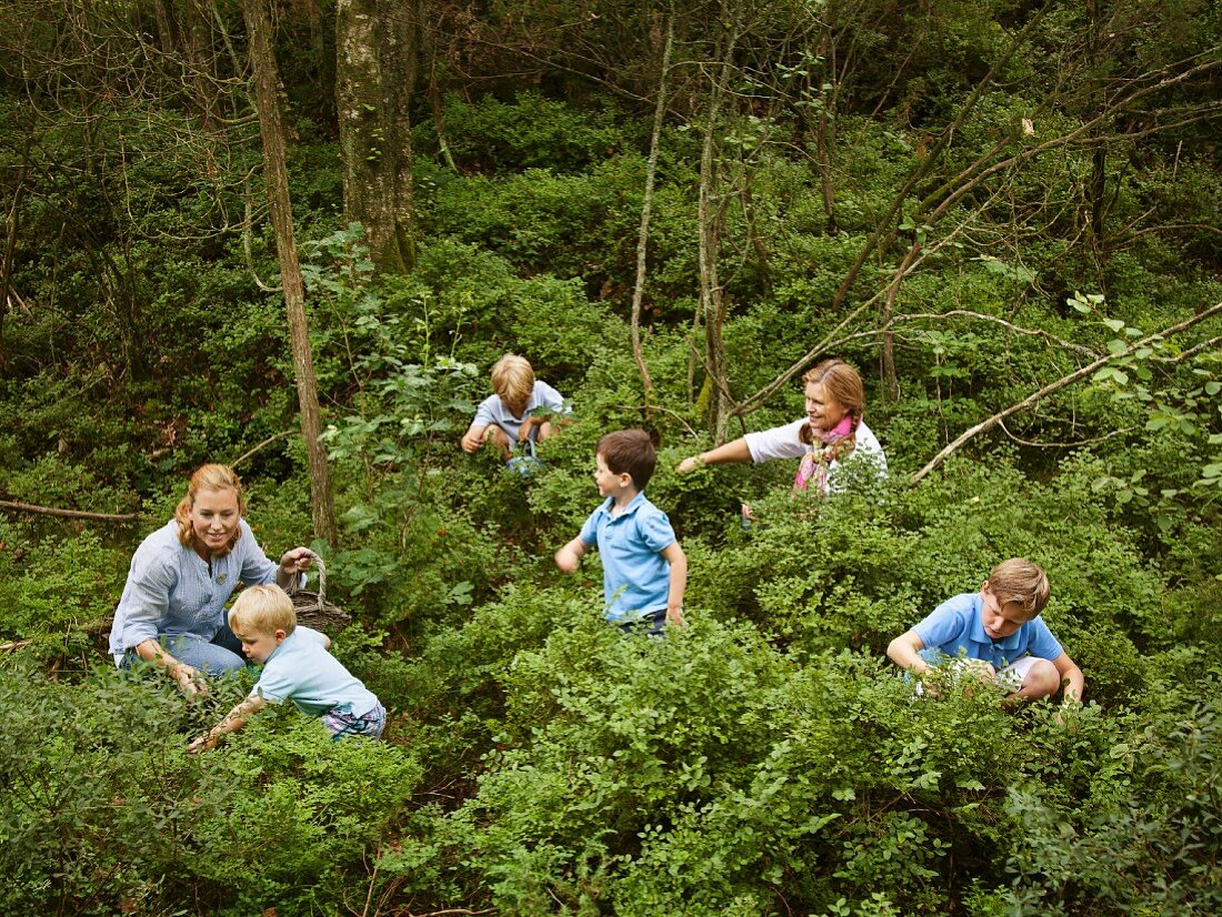 Adults and children looking for blueberries in a forest