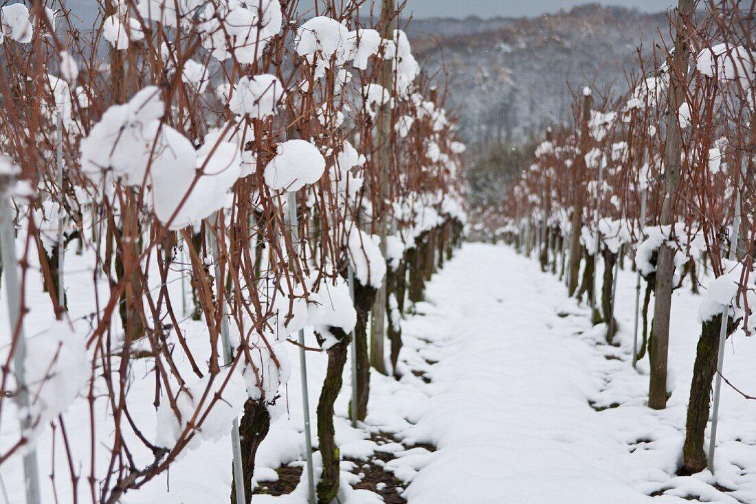 Various vines in the Markgräflerland region
