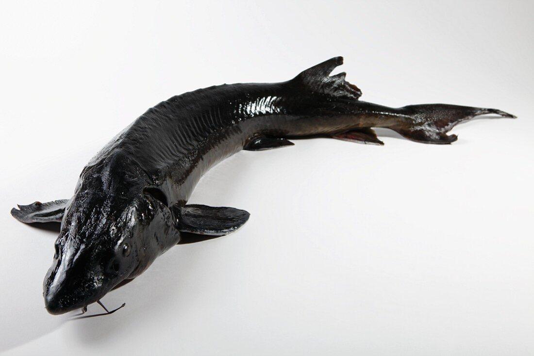 A sturgeon on a white surface