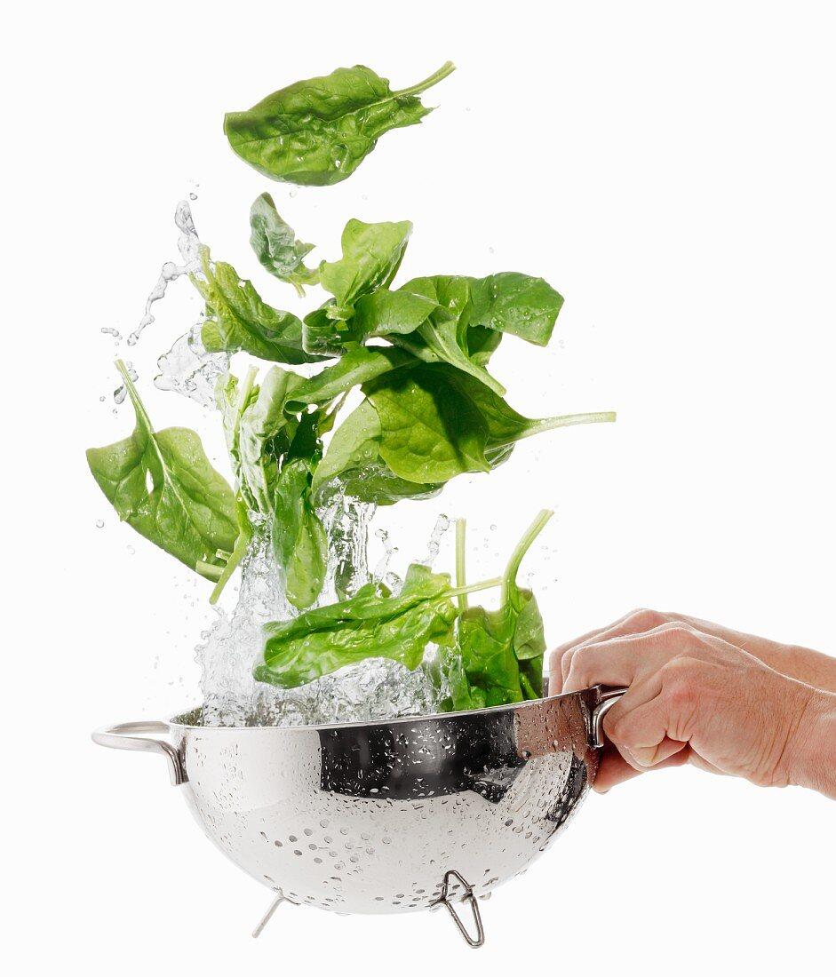 Washing spinach in a colander