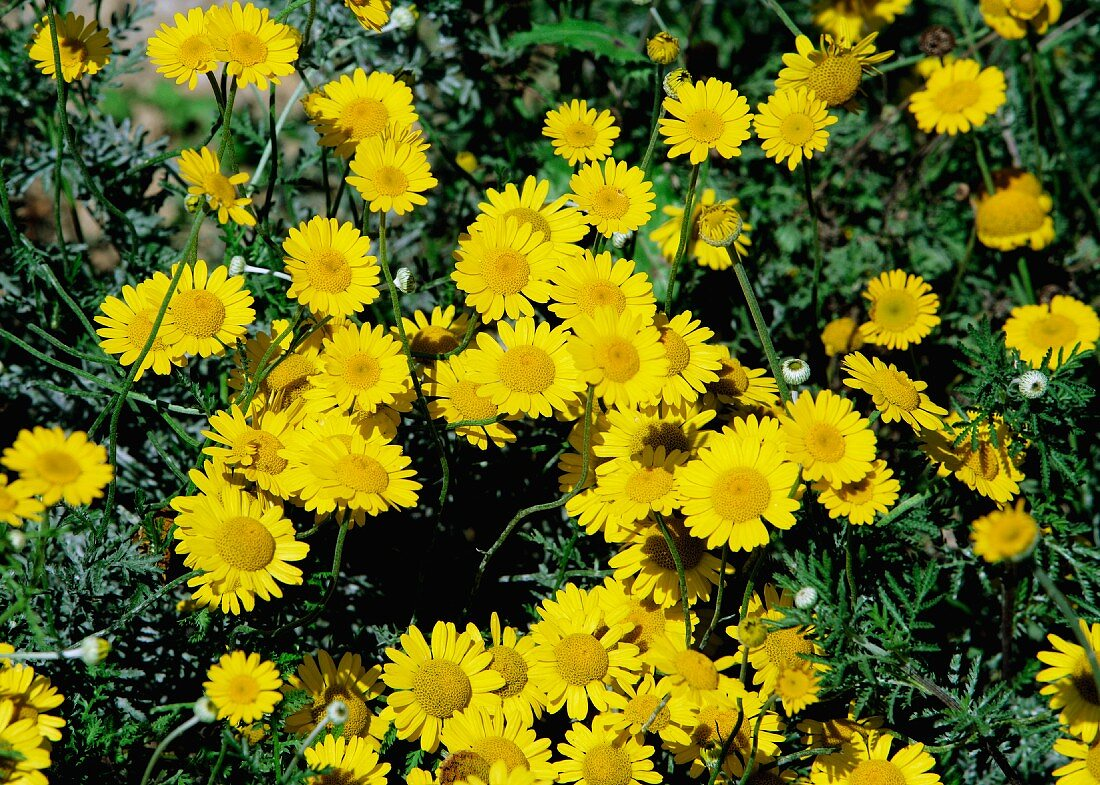 Flowering golden marguerite