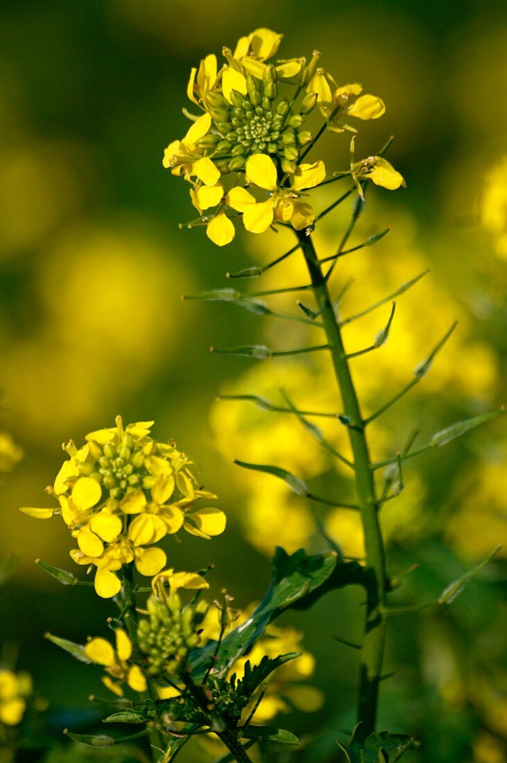 Blooming rape (close up)