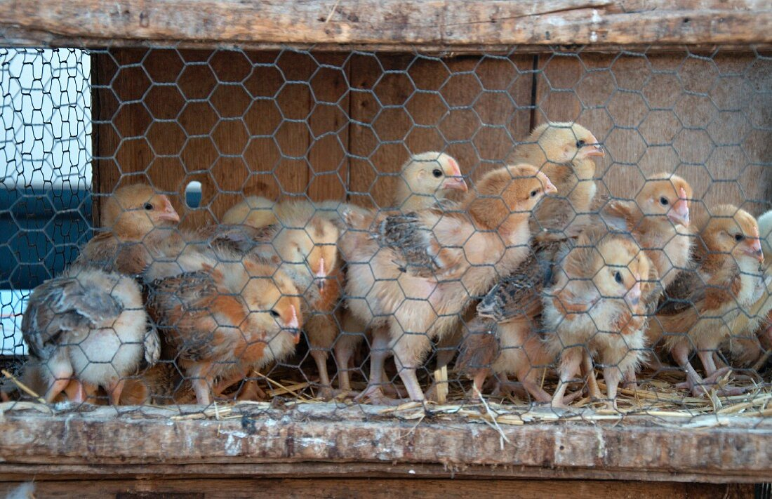 Chicks at the poultry market (Sineu, Majorca)