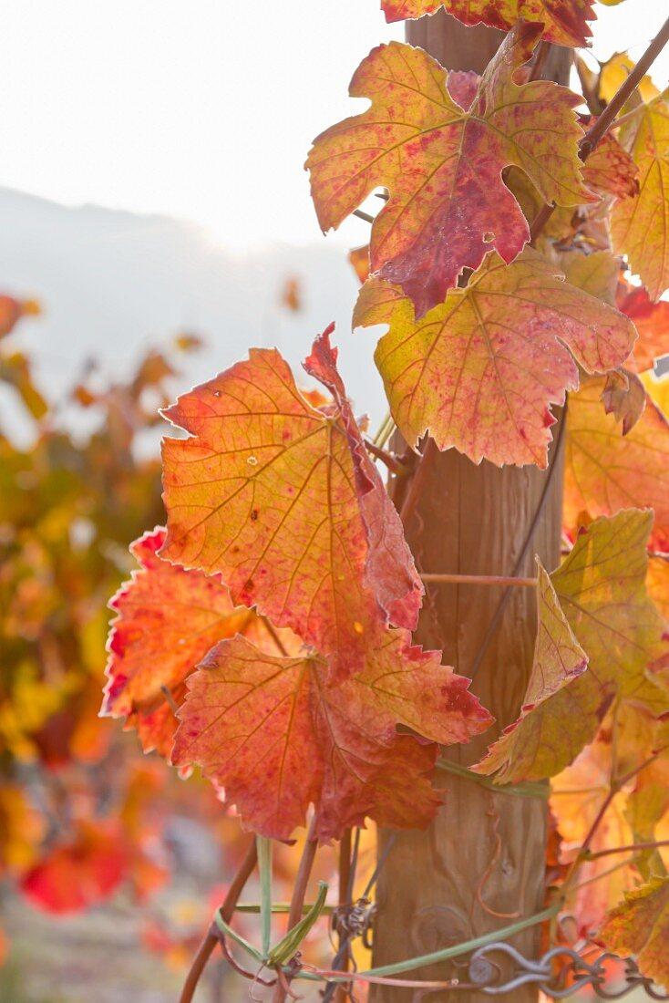 Autumn vine leaves on the vine