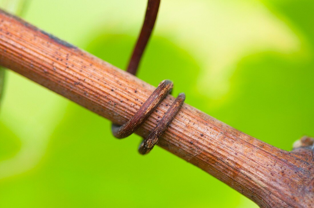 A tendril on a vine (close up)