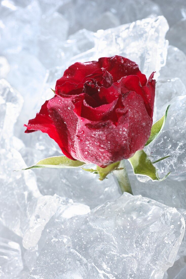 Red rose in ice
