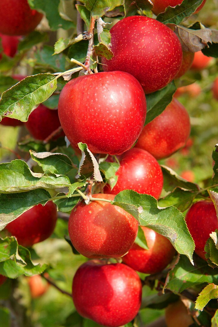 Red apples on the branch