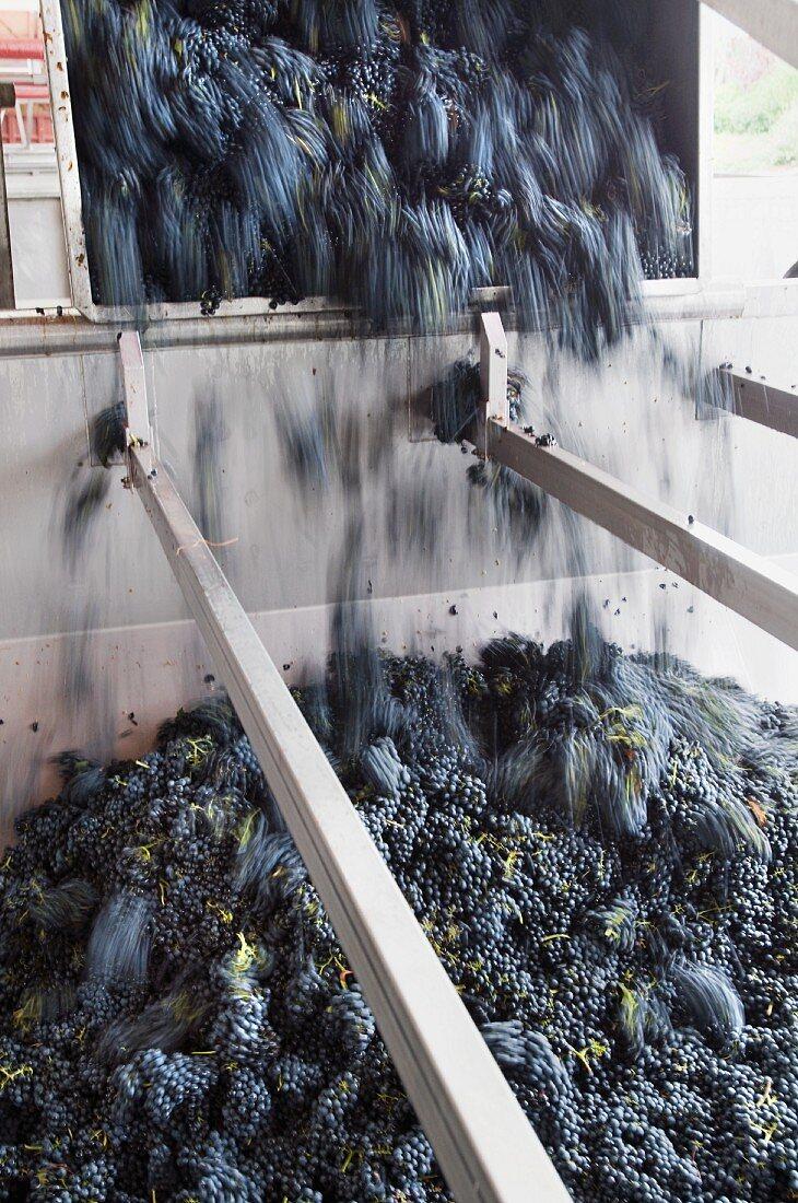 Pinot Noir Trauben werden vom Anhänger in Abbeermaschine gekippt