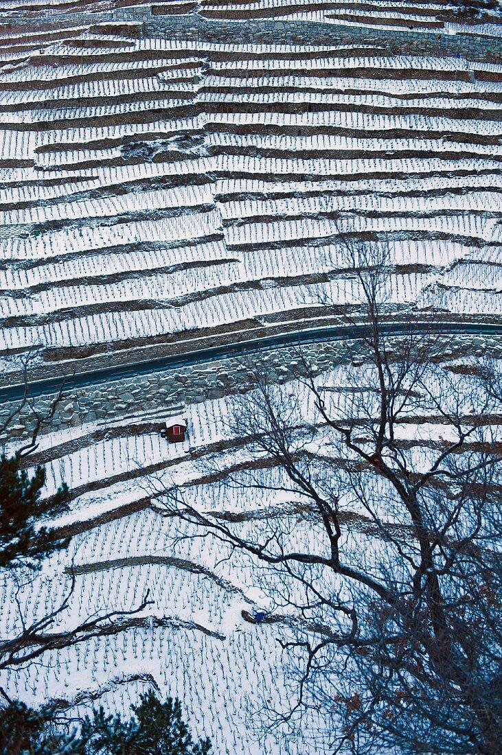 The highest vineyard in Europe in winter (Vispertal, Switzerland)