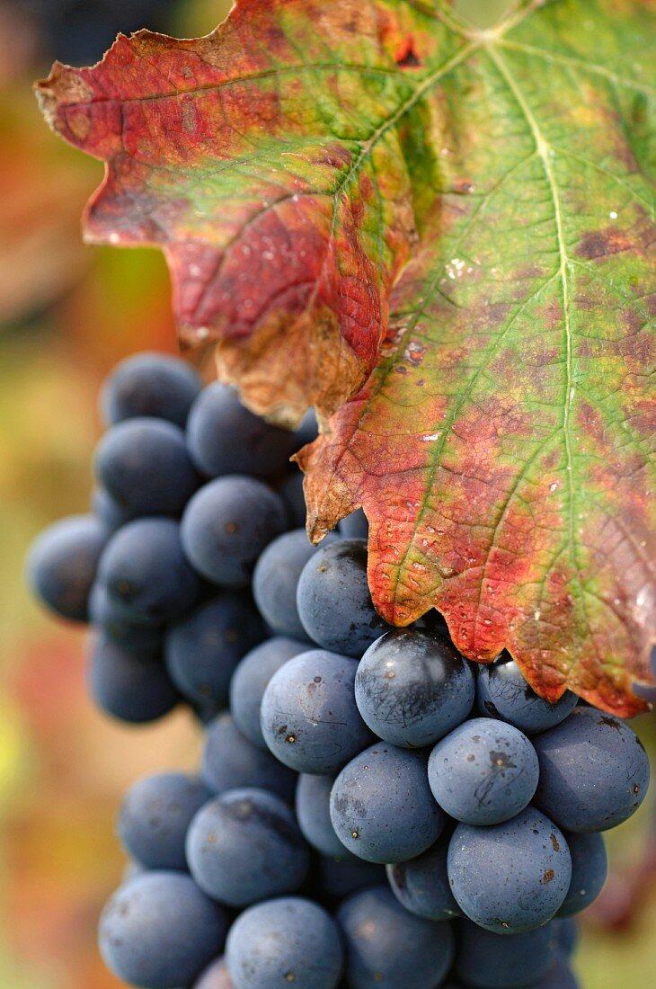 Barbera grapes, half hidden by a vine leaf