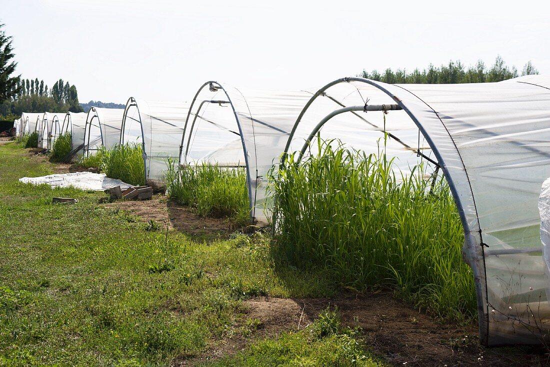 Sorghum plants in green houses