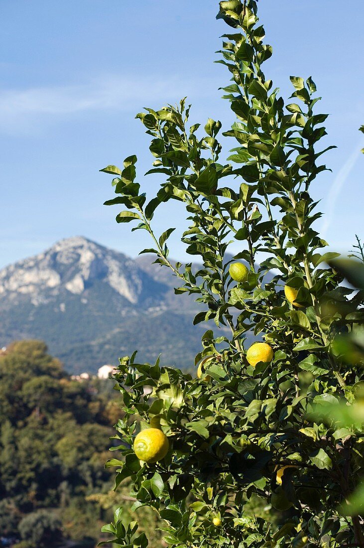 A lemon tree in Menton (Southern France)