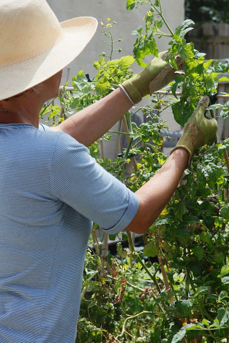A woman tying tomato plants to a trellis