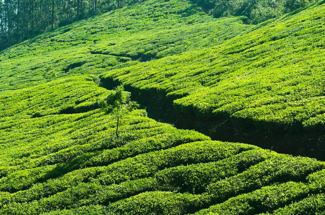 A path through a tea plantation in Munnar, Kerala, India