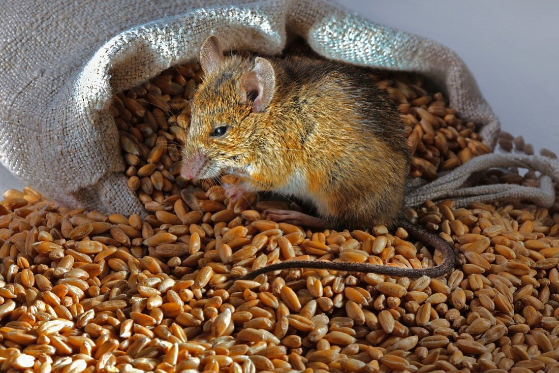 A live mouse with wheat