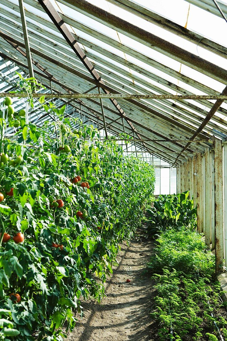 Tomatoes and herbs growing in greenhouse