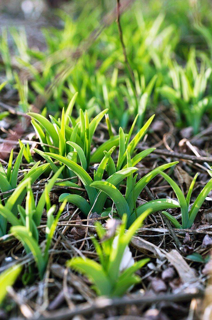 Daylily (Hemerocallis fulva)