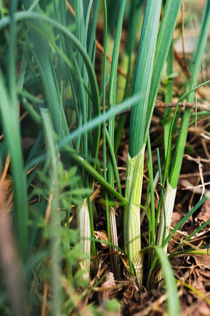 Wild garlic (Allium Vineale)