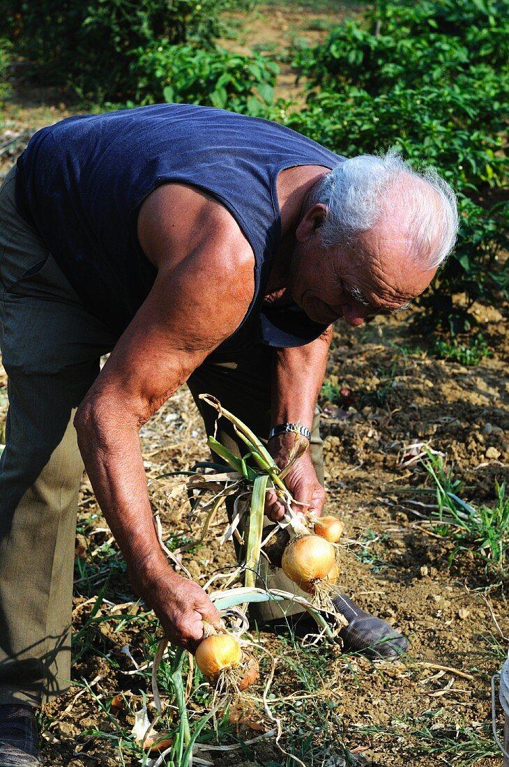 An older man harvesting onions in a garden