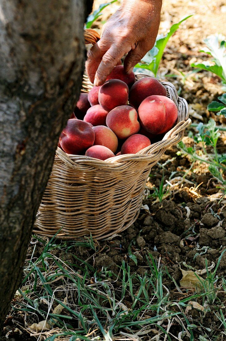 Freshly picked peaches in basket under a tree