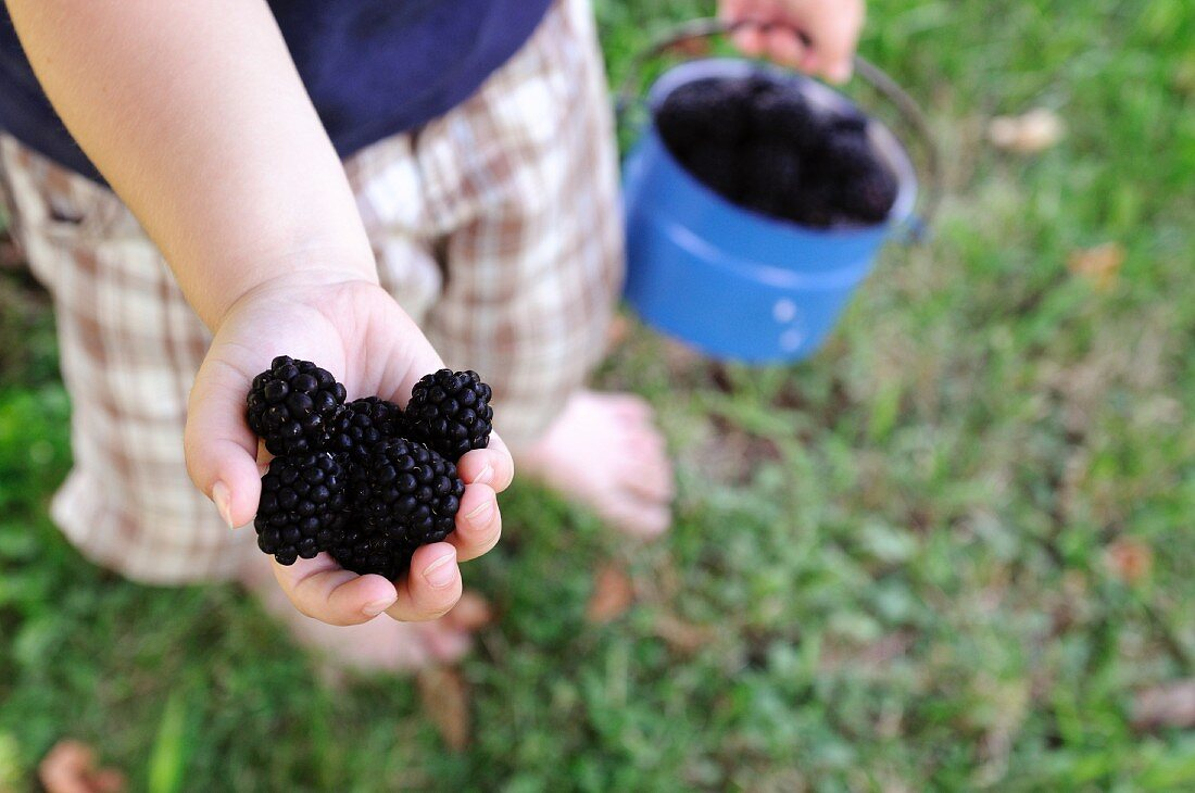 A child holding a handful of blackberries