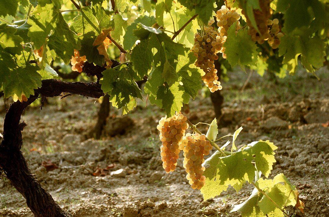 Semillon grapes produce a fruity dry white wine