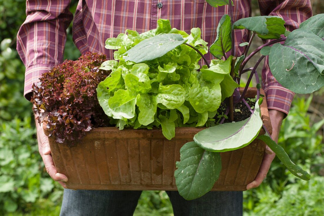 Red and green lettuce in a flower box with kohlrabi