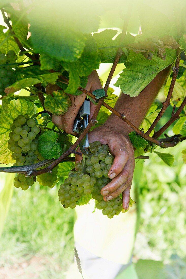 Grape harvest at the Franzen Vineyard, Bremm, Rhineland Palatinate, Germany (grape type pinot blanc)