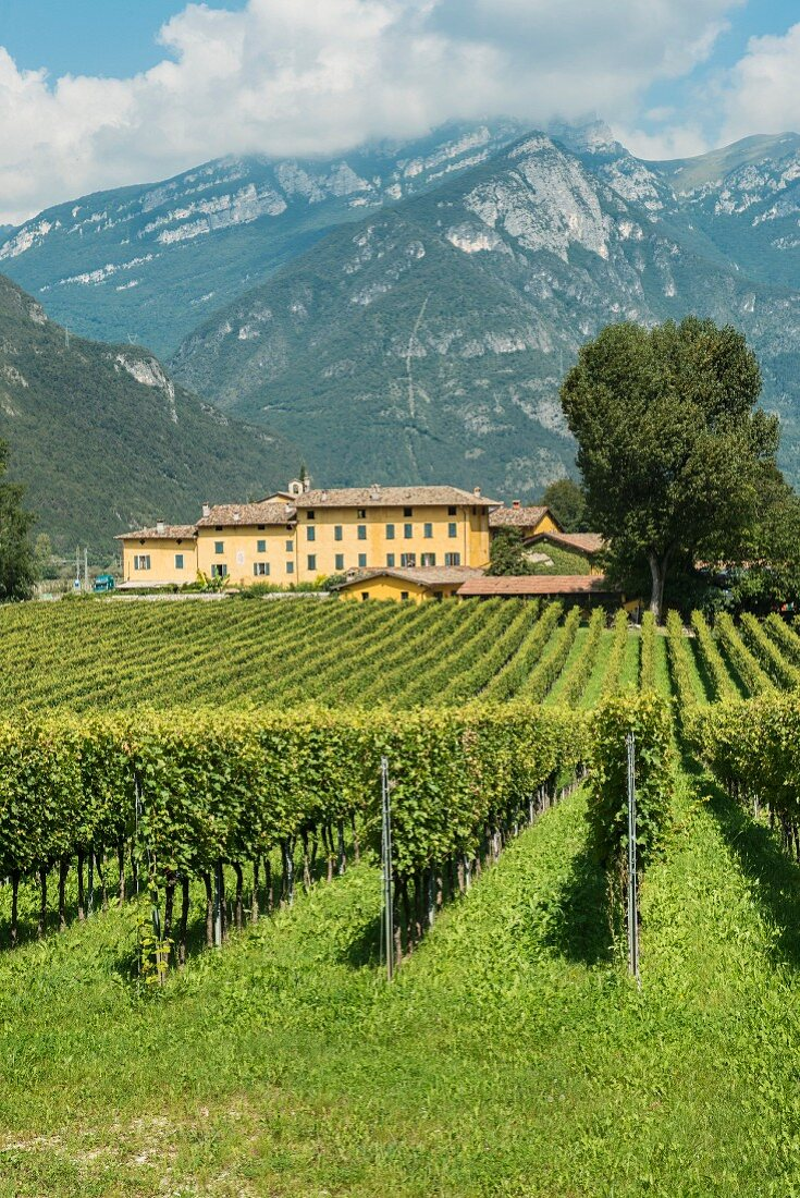 A panoramic view of the vineyard Tenuta San Leonardo, Borghetto, Italy