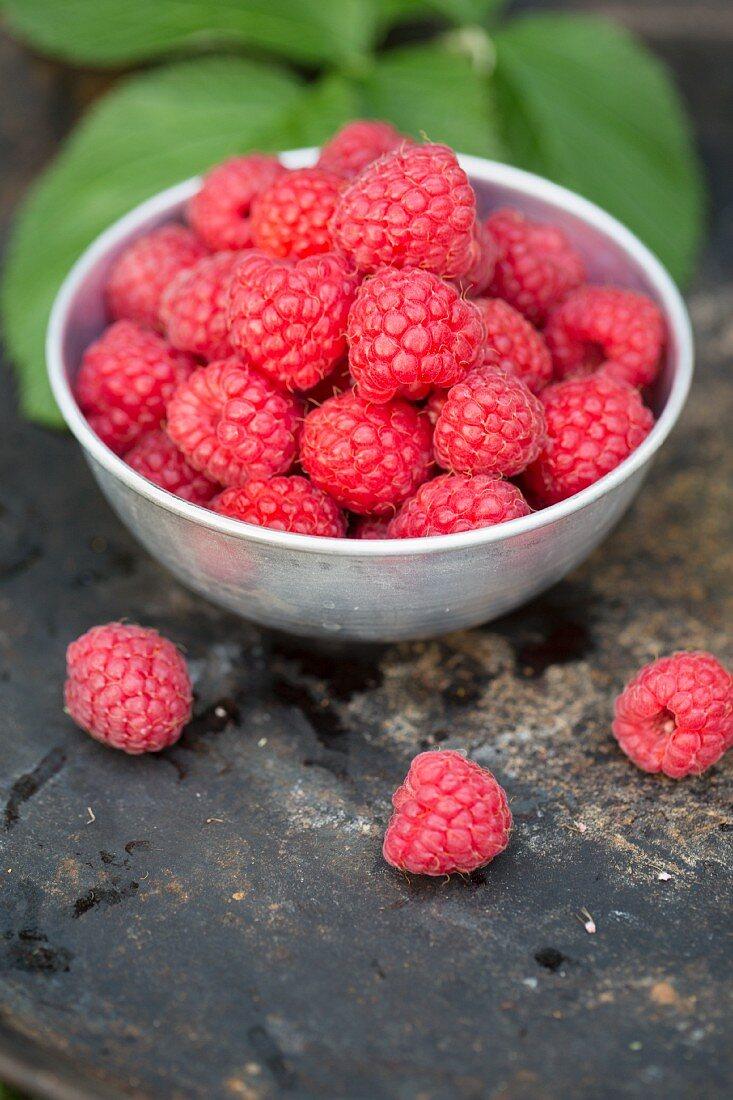 Fresh raspberries in a white porcelain bowl